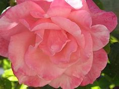 How to properly care for rose shrubs (when to prune, fertilize, and how much water)