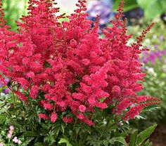 Astilbe Younique Carmine™  Fall Shipped  Every July garden needs a burst of fireworks, and Younique Carmine™ will do. This new member of the Younique series of Astilbes -- noted for outstanding garden performance, nicely compact foliage, and heavy flowering -- parades its flaming fuchsia-pink wands up high for all to admire, whether along a path or in terrace containers. 'Verscarmine' PP 20,324  Astilbe is a rugged and beautiful genus of shade lovers that throw colorful spikes above divided…