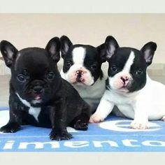 Filhote Macho De Bulldog Francês - R$ 2.500,00