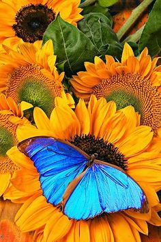Blue Butterfly On Sunflower