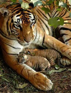 Funny Wildlife, Proud tiger mum with her two cubs!!