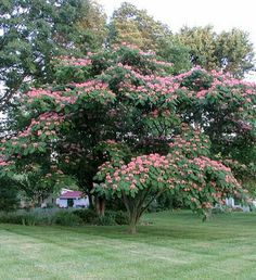 "Albizia julibrissin (Persian silk tree, pink silk tree) is a species of tree in the family Fabaceae, native to southwestern and eastern Asia. The species is usually called ""silk tree"" or ""mimosa"" in the United States, which is misleading, neither is it very close to the Mimoseae."