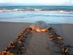 Turtles nesting - 80 mile beach WA