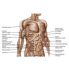 Anatomy of human abdominal muscles Canvas Art - Stocktrek Images x Latissimus Dorsi, Chest Muscles, Muscle Anatomy, Human Body Parts, Thing 1, Muscle Tissue, Abdominal Muscles, Human Anatomy, Physiology