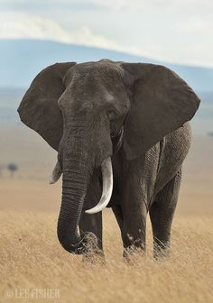 Check this out! Really like this Black and White Animal Pictures Elephant Pictures, Elephants Photos, Animal Pictures, Baby Elephants, Elephant Photography, Wildlife Photography, Animal Photography, Asian Elephant, Elephant Love