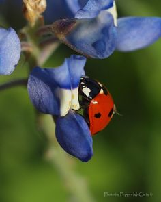 ladybug on bluebonnet