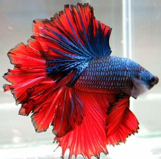 AquaBid.com - ***Red-Blue-Feather***HM-Male ***