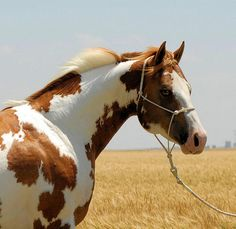 PaintAmerican Paint Horse western quarter paint horse paint pinto horse Gypsy Vanner Indian pony