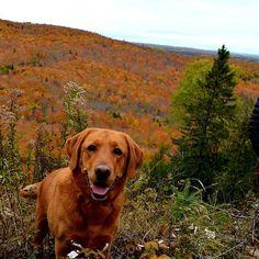 Fall hiking fun Lutsen Mtn Fox Red Labrador, Labrador Retriever, Doggies, Dogs And Puppies, Hunter Dog, Goofy Dog, Labradors, Puppy Pictures, Red Fox