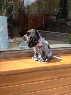 My blue roan cocker spaniel pup enjoying the sun!!