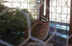 Keeping Your Quail Healthy