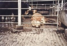 downed dairy with calf looking on factory farm photo