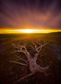 old, tree, windswept, montana, plateau