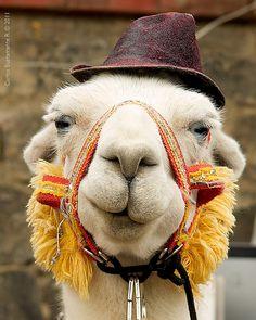 My Love - the llama Alpacas, No Drama Lama, Drama Drama, Llama Face, Llama Llama, Llama Images, Sculptures Céramiques, Quokka, Cute Llama