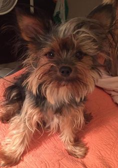 Eddy is an adoptable Yorkshire Terrier Yorkie searching for a forever family near Taunton, MA. Use Petfinder to find adoptable pets in your area.