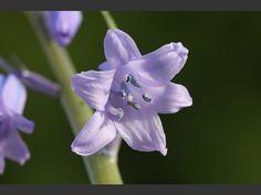 Hyacinthoides non-scripta x hispanica - Hybrid Bluebell