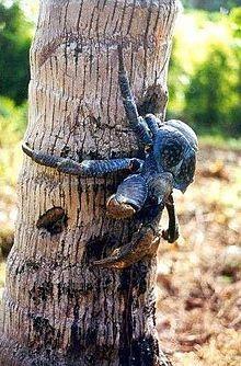 Christmas Island - Coconut crab