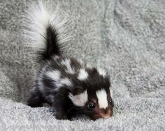 Baby Skunk - so cute! I want one!  Well, maybe not ...