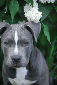 gray bull terrier puppies / 20 Cute Pitbull Dog Puppies | http://fallinpets.com/20-cute-pitbull-dog-puppies/