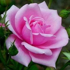Beautiful Rose Flowers, Amazing Flowers, Beautiful Flowers, Flower Images, Flower Pictures, Purple Roses, Pink Flowers, Rose Reference, Rose Wallpaper