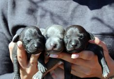 Italian Greyhound (Sighthound) breeder in Europe Sunnymoon Place. You could buy Italian Greyhound puppy here. Italian Greyhound Puppies, Labrador Retriever, Places, Dogs, Animals, Labrador Retrievers, Animales, Animaux, Pet Dogs