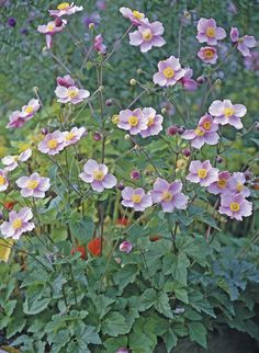 Japanese Anemone 'September Charm' perennial front bed 2017