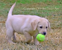 YELLOW LABRADOR PUPPY retrieves his tennis ball by overthefenceart, $5.00