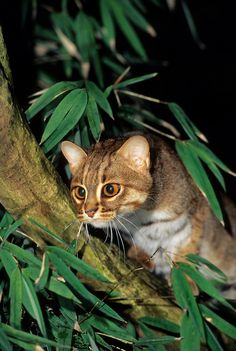 Tiny, but fierce, in a cute way. The Rusty-Spotted Cat. Small Wild Cats, Small Cat, Big Cats, Cats And Kittens, Kitty Cats, Rare Cats, Exotic Cats, Sri Lanka, Tiger Species