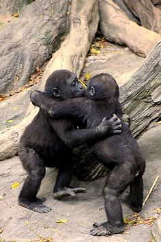 Gorilla Baby Hug Party (Africa)