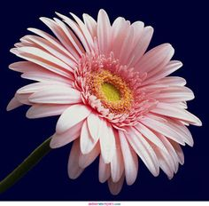 Pale pink gerbera