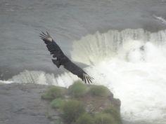 Condor above the Iguazu Falls Iguazu Falls, Bald Eagle, South America