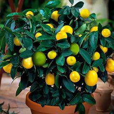 2-in-1 Meyer Lemon / Persian Lime Bush