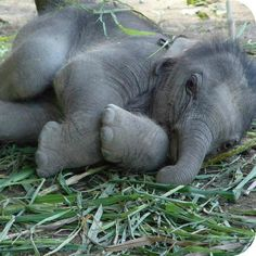 "An Elephant Calf: ""All Snuggled Up."""
