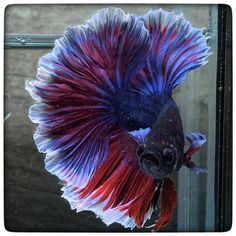 AquaBid.com - Item # fwbettashm1452912474 - Butterfly rosetail (1371) By 3636bettaberry - Ends: Fri Jan 15 2016 - 08:47:54 PM CDT