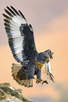 The jackal buzzard (Buteo rufofuscus)