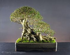 Harry Harrington   Updated image of Ligustrum ovalifolium/ Privet Bonsai, the tree on the front cover of my first book Bonsai Inspirations 1 The Privet has been partially-defoliated (all but the very smallest leaves removed) this winter by my apprentice Sean.