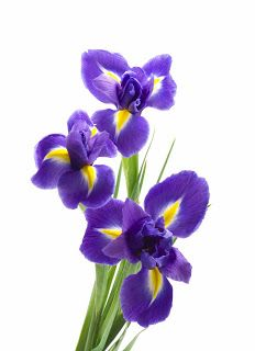 One of the better iris pics I've seen for my tattoo that I will get someday.