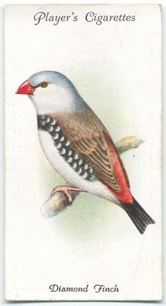 Diamond Finch. From New York Public Library Digital Collections.