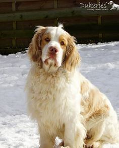 Clumber Spaniel - History ✓, Character ✓, Way of working & natural abilities ✓, Training ✓ Clumber Spaniel, Spaniels, Dog Life, Cute Dogs, Labrador, Hunting, Puppies, Water, Photos