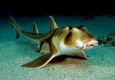 Port Jackson Shark----. The Port Jackson Shark is most often found in southern Australian, Queensland, or Tasmania. They are unique because they have the ability to eat and breathe at the same time, which is unusual for most sharks. Port Jackson Sharks are thought to be harmless to humans, but if provoked can give a painful bite. -