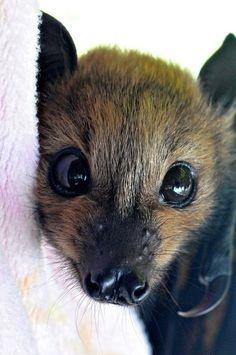 Cute Bat! Looks like the Fruit Bat/Flying Fox :: Megabats constitute the suborder Megachiroptera, family Pteropodidae of the order Chiroptera (bats). Common Names: Fruit Bat, Old World Fruit Bat, or (especially the genera Acerodon & Pteropus) THE FLYING FOX=) http://en.wikipedia.org/wiki/Megabat AwW! <3
