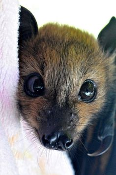 Cute Bat! Looks like the Fruit Bat/Flying Fox :: Megabats constitute the suborder Megachiroptera, family Pteropodidae of the order Chiroptera (bats). Common Names: Fruit Bat, Old World Fruit Bat, or (especially the genera Acerodon & Pteropus) THE FLYING FOX=) http://en.wikipedia.org/wiki/Megabat AwW! <3
