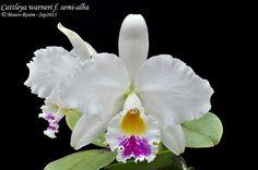 Cattleya warneri f. semi-alba | Mauro Rosim | Flickr