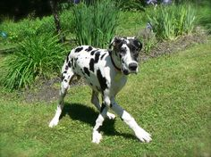 Cole, great dane puppy