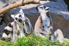 Wolfe Jones - lemur pictures for desktop - 3370 x 2238 px