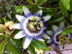 Les Passiflores sont des plantes à fleurs extraordinaires, il en existe plusieurs centaines d'espèces et de variétés, toutes plus jolies les unes que les autres ! Si vous avez une variété que vous aimez bien et que vous souhaitez la reproduire sachez le bouturage de la passiflore est plutôt facile et permet d'obtenir rapidement un …