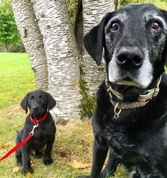 Lazer & his mini-me. #katanddog #lab #labs #lablife #lablove #labrador #lablovers #labradors #labstagram #laboftheday #labsofinsta #labradorable #labsofinstagram #labradorretriever #labradorretrievers #labradorsofinstagram #retriever #retrievers #retrieversgram #retrieveroftheday #retrieversofinstagram #worldoflabs #dog #dogs #blacklabs #blacklab #labradorpuppy #labpuppy #puppy #puppies