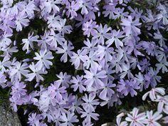 Phlox-subulata-Emerald Cushion blue-1-LD-wiki