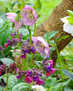 Hellebores and Pulmonaria, in a break in the rain...
