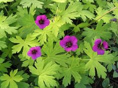 Geranium Ann Folkard Long flowering great around trees in light shade or full sun. In light shade flowers for most of the summer